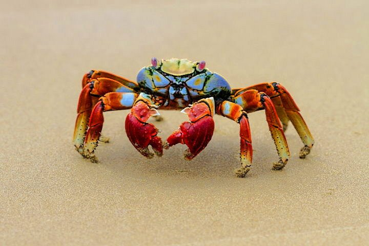 Sally Light-Foot Crab, Galapagos