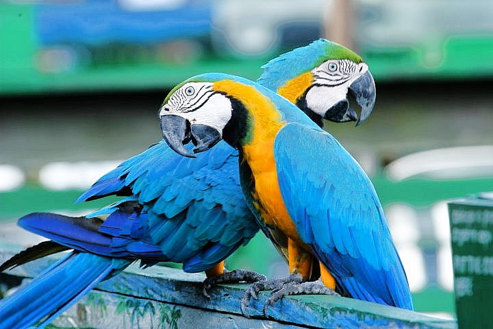 Blue and Yellow Macaws, Amazon, Brazil