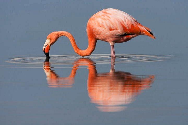 Flamingo, Galapagos
