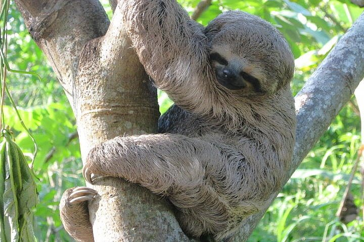 Three-Toed Sloth, Amazon, Peru