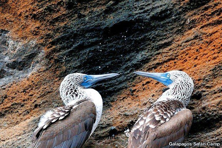 Blue-Footed Boobies, Galapagos