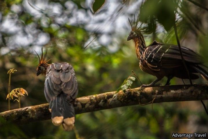 Hoatzin, Amazon, Ecuador