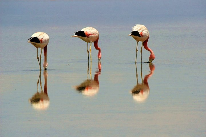 Flamingos, Atacama, Chile