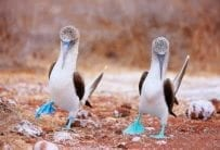 Mating Dance of Blue-Footed Boobies, Galapagos