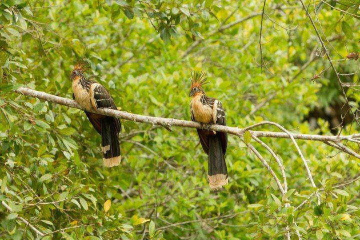 Hoatzin Pair, Amazon, Ecuador