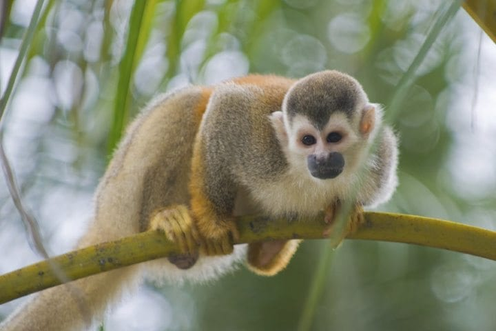 Squirrel Monkey, Amazon, Ecuador