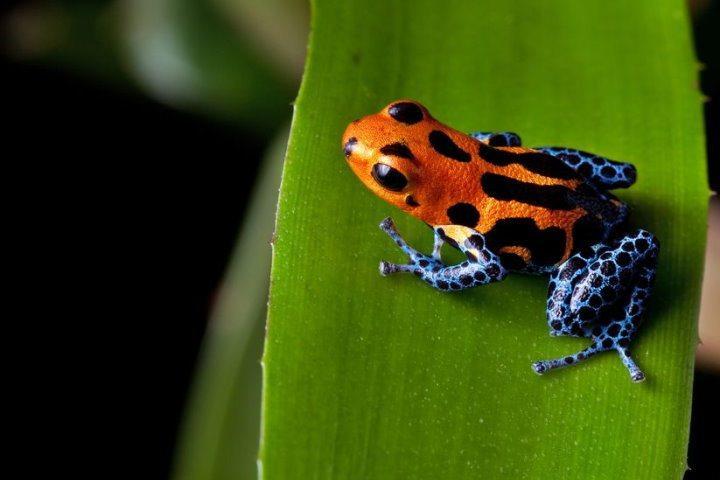 Red-Striped Poison Dart Frog, Amazon, Peru