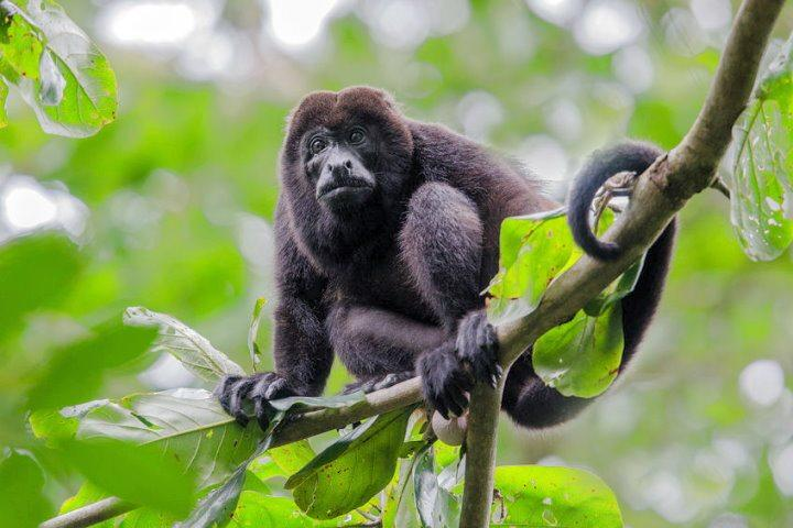 Black Howler Monkey, Amazon Rainforest