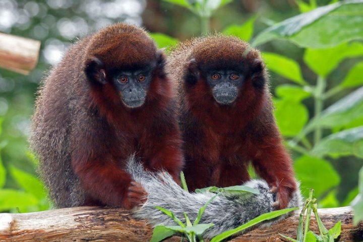 Red Titi Monkeys, Amazon Rainforest