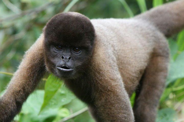 Woolly Monkey, Amazon Rainforest