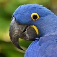 Hyacinth Macaw, Amazon