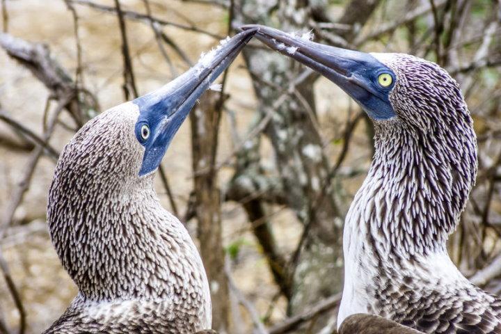 Blue-Footed Boobies, North Seymour Island, Galapagos