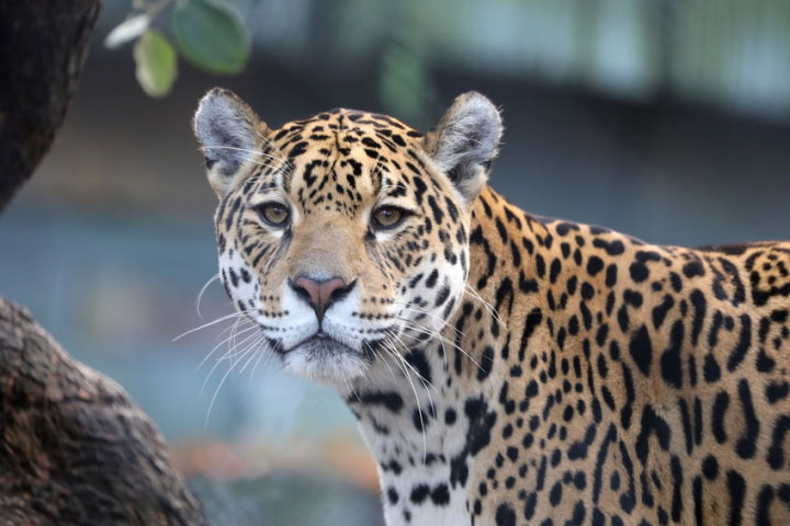 Cats of the Amazon Rainforest - Jaguar