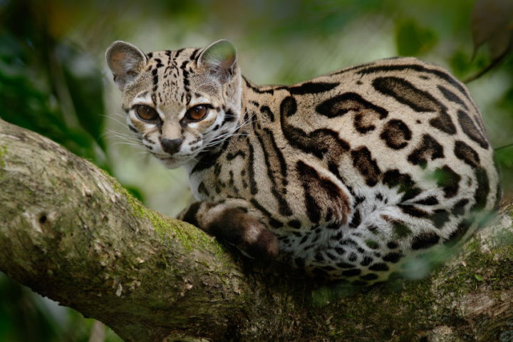 Cats of the Amazon Rainforest - Margay