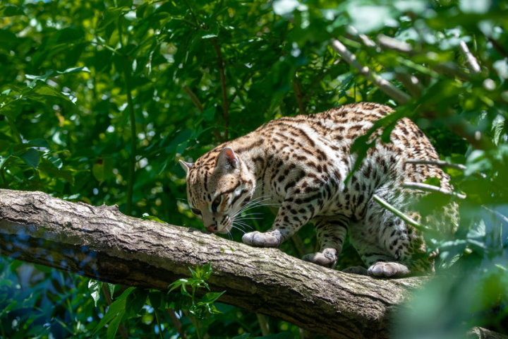 Cats of the Amazon Rainforest - Ocelot