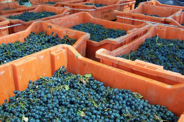 Buckets of Grapes, Tempus Alba Vineyard, Mendoza