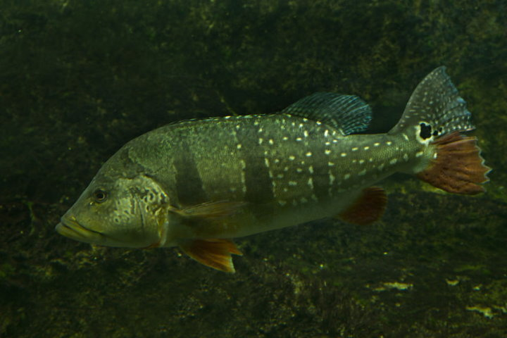 Fish of the Amazon - Peacock Bass