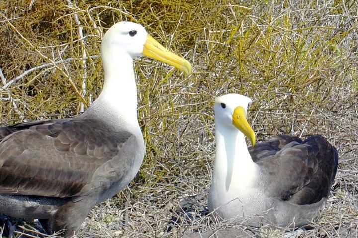 Albatross Pair, Galapagos
