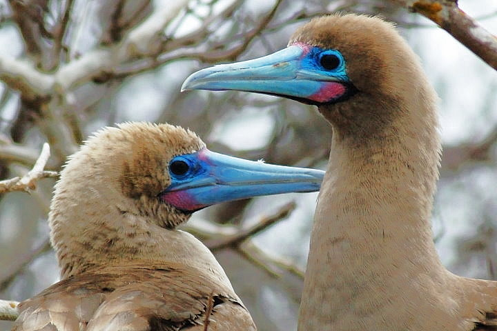Red-Footed Boobies, Galapagos