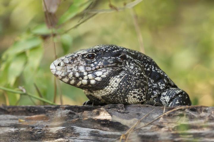Black and White Tegu, Pantanal, Brazil