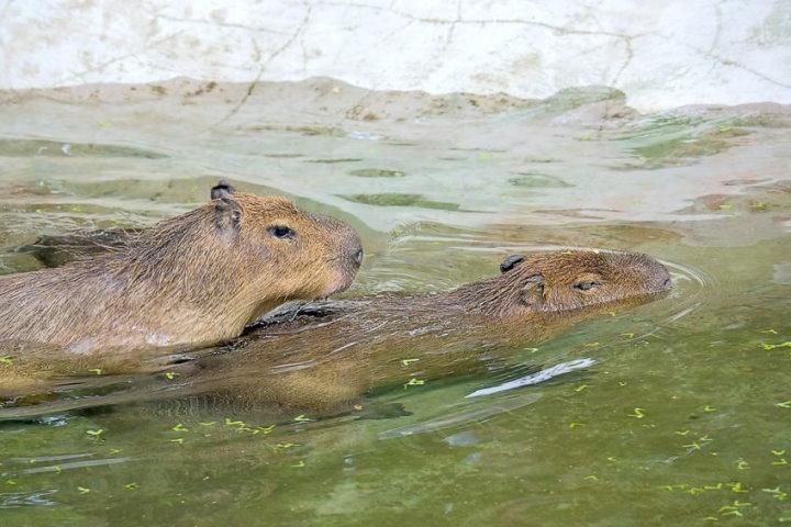 Capybaras mating, the Pantanal