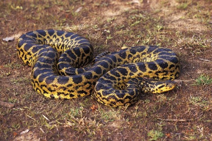 Green Anaconda, Pantanal, Brazil